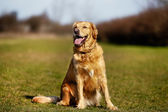 Purebred dog on grass field — Stock Photo