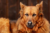 Mixed-bred dog — Stock Photo