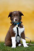 Brown border collie puppy — Stock Photo