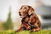 Brown labrador retriever — Stock Photo