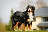 Bernese mountain dog — Stock Photo