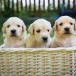 Three golden retriever puppies — Stock Photo
