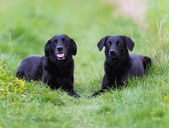 Black labradors — Stock Photo