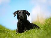 Black labrador — Stock Photo