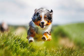 Running purebred dog — Stock Photo