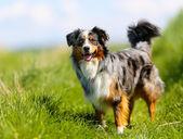 Purebred dog — Stock Photo