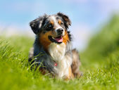 Purebred dog — Stock Photo