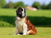 Saint Bernard dog — Stock Photo