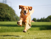 Golden retriever köpek — Stok fotoğraf