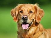 Cachorro golden retriever — Fotografia Stock