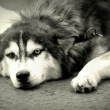 Malamute — Stock Photo #24120119