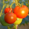 Grape tomato — Stock Photo