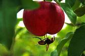 Abeja y manzana — Foto de Stock