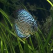 Stock Photo: Discus - Tropical Fish