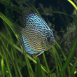 Discus - Tropical Fish - Stock Photo