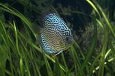 Discus - Tropical Fish — Stock Photo