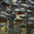 A flock of piranhas - Foto Stock