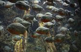 A flock of piranhas — Stock Photo