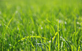 Close up of fresh grass — Stock Photo