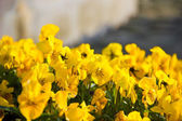 Yellow flowers, close up — Stock Photo