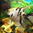 Angelfish — Stock Photo #30994973