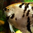 Angelfish — Stock Photo #30994987