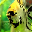 Angelfish — Stock Photo #30995035