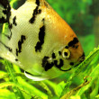 Angelfish — Stock Photo #30995115
