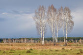 Three birches — Stock Photo