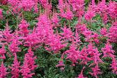 Flower astilbe — Stock Photo
