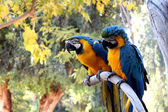 Perroquets — Photo