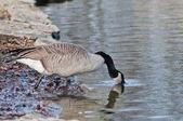 加拿大鹅 — 图库照片