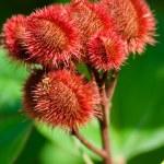 Annatto Tree Seed Pods — Stock Photo #30464093