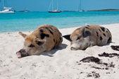 島豚 — ストック写真