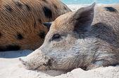 Island Pigs — Foto de Stock