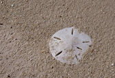Sanddollar — Stock Photo