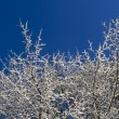 Snow covered Tree and blue skies — Stock Photo