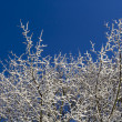Stock Photo: Snow covered Tree and blue skies