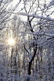 Sun shining throug snow covered trees — Stockfoto