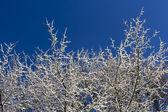 Pokryte śniegiem drzewa i błękitne niebo — Zdjęcie stockowe