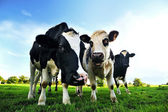 Krávy v zelené oblasti ve francii — Stock fotografie