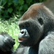 Gorilla — Stock Photo #22824644