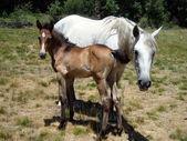 两匹马 — 图库照片