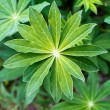 Lupin plant. — Stock Photo #47538635