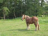 Male icelandic horse — Stock Photo