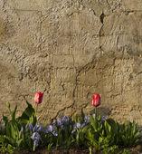 Tulipani davanti al muro — Foto Stock