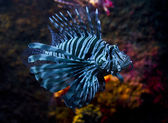 Lion fish — Foto Stock
