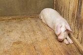 Cerdos en el suelo — Foto de Stock