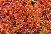 Red moss — Stock Photo