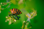 Shield bug with green background — Stock Photo